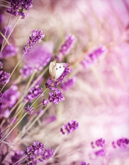 White butterfly on lavender © lola1960
