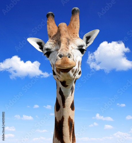 The head of the giraffe