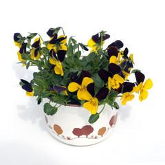 Horn-Veilchen, Viola cornuta,