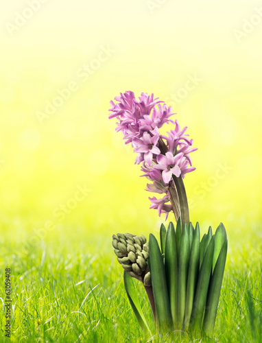 pale pink hyacinth flowers with bud in sunny garden