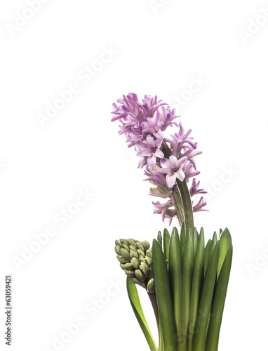 pale pink hyacinth flower with bud,isolated