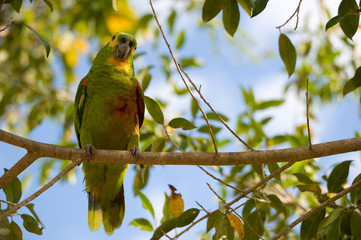 Yellow-faced Parrot sitting on branch