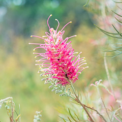 Red flower of the Grevillea plant native to Australia