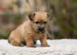 Cute terrier puppy sitting