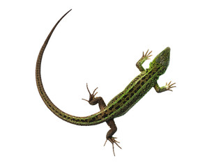 Green lizard with bowed tail
