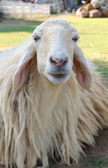 Closeup of long wool sheep on the farm