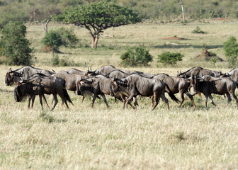A herd of wild wildebeests in Savannah