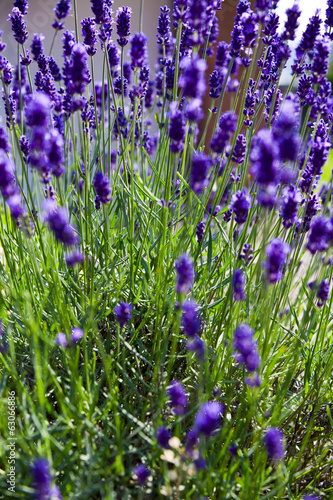 Lavender plant in summer