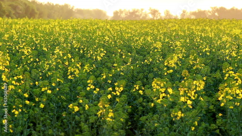 Canola blooming