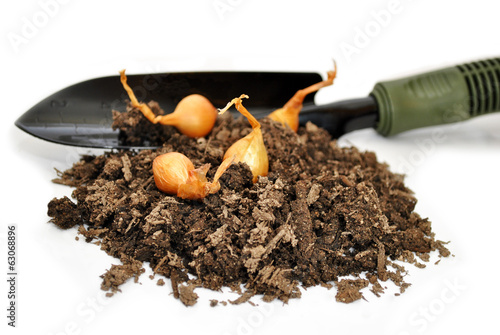 Four Yellow Onion Bulbs with A Spade and Soil