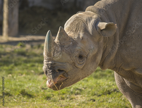 Rhino eating