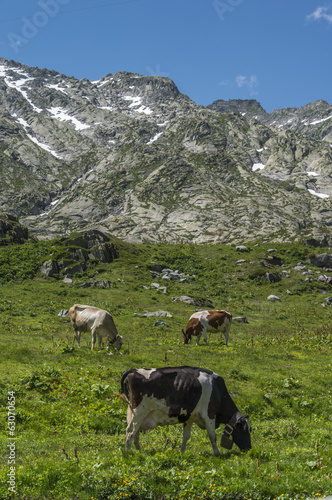 Cows eating grass on alpine mountain