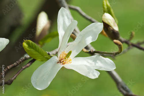 Twig with blossoming white Magnolia flower