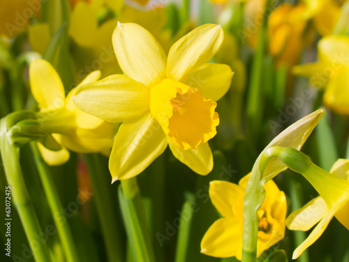 Yellow daffodils in flowerbed in spring.