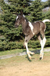 Skewbald foal running in outdoor