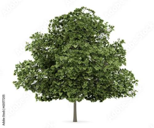 common maple tree isolated on white background