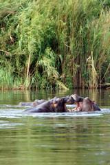 Flußpferd, Zentralafrika