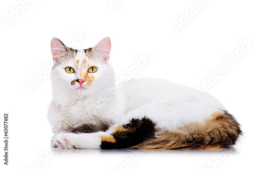 lying cat on white background