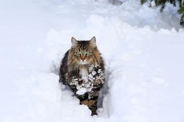 Langhaarkatze im Schnee