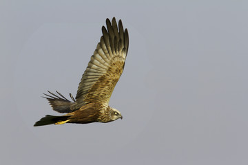 marsh harrier in flight / Circus aeruginosus