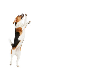 Studio Shot Of Beagle Dog Jumping Against White Background