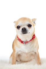 Studio Portrait Of Chihuahua Dog Against White Background