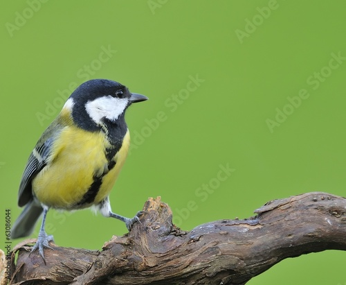 Great tit.