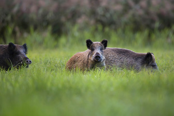 Boars in the wild, in a clearing.