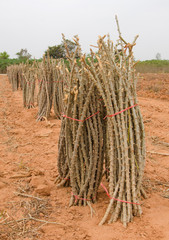 row of cassava tree in field.