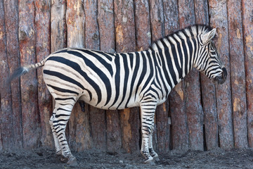Zebra posing on nature