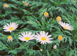 Daisy flowers in garden with retro filter effect