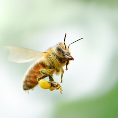 flying honey bee