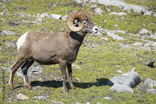 Big Horn Sheep portrait