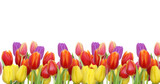 Tulpen auf weißem Hintergrund - 63091423
