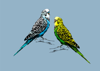 Colored drawing of two budgies. Vector illustration