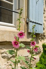 Pink Hollyhock in France
