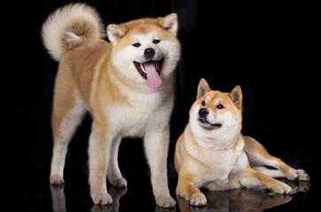 Akitas and Shiba Inu
