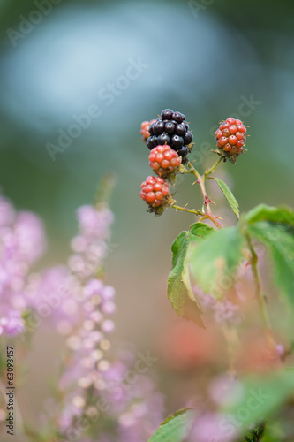 Blackberries and heather