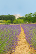 Lavender in French drome