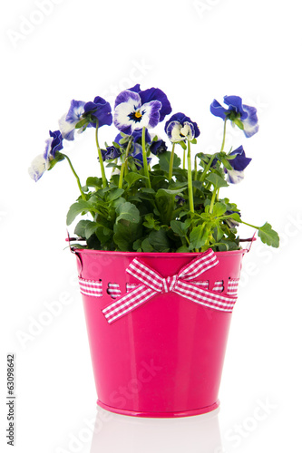 Blue pansy flowers in pink pot
