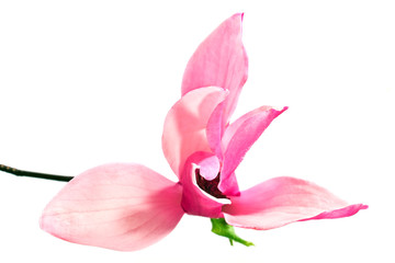 Magnolia flower  isolated on white