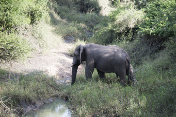 big elephant crossing the river