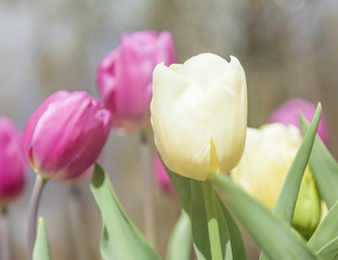 Beautiful tulips at the garden in a sunny day