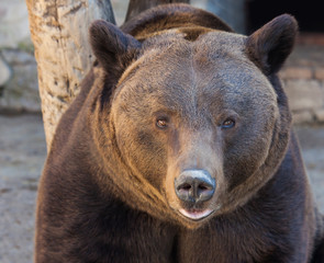 portrait of a cute brown bear