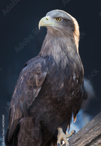 portrait of an eagle on a branch
