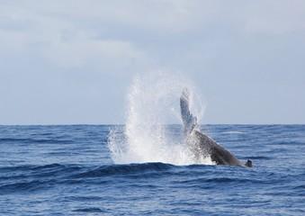 baleine frappant l'eau