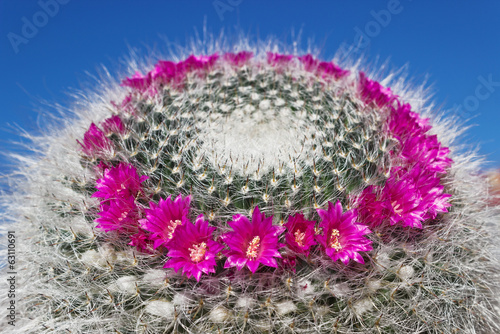 Blooming cactus Mammillaria on blue sky background