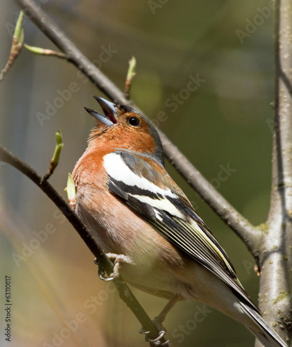 Singing Common Chaffinch on the branch