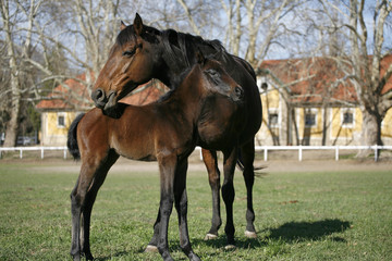 Thoroughbred mare and foal in the field.