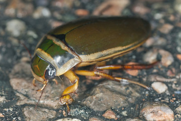 Great diving beetle, Dytiscus marginalis